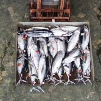 Tuna is transported across the fish auction market at Nachi-Katsuura, Wakayama Prefecture, in September 2015.    ROB GILHOOLY