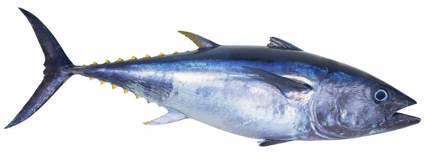 Can farmed tuna save the bluefin from extinction?