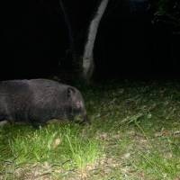 Creatures of the night: Wild boar are mainly nocturnal animals. | KENJI MINAMI