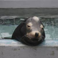 Rehabilitation: A sea lion is treated for domoic acid toxicity at the Marine Mammal Center in Sausalito, California. | REUTERS