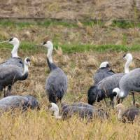 Hooded cranes test new winter homes in Shikoku