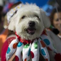 A dog in a jester costume attends a pet parade in Rio de Janeiro on Sunday. People dressed their pets up for the annual block parade held near Copacabana beach. | AP