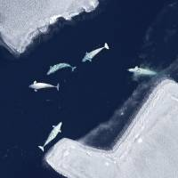 A beluga whale pod swims in the Chukchi sea near Alaska in May 2011. Diving patterns suggest the whales target Arctic cod and will dive to great depths to reach food. | AP