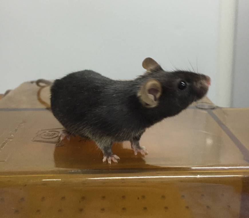Mice stem cells yield sperm, lead to reproductive rodents in 'mammoth' feat by China scientists