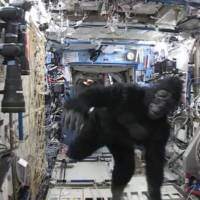 In this image from video made available by NASA on Tuesday, astronaut Scott Kelly wears a gorilla costume in the International Space Station. The suit was a gift from his identical twin brother, former astronaut Mark Kelly. Next Tuesday, Kelly and Russian cosmonaut Mikhail Kornienko will return to Earth after being in space for 340 consecutive days. | NASA VIA AP