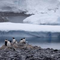 Gentoo penguins stand last month on rocks near the Chilean station Bernardo O'Higgins, Antarctica. A scientific study released this month says an estimated 150,000 Adelie penguins have died in Cape Denison, Antarctica, in the five years since a giant iceberg blocked their main access to food. | AP