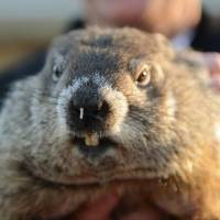 Punxsutawney Phil is bemused by the attention on the 130th Groundhog Day in Punxsutawney, Pennsylvania, on Tuesday. The animal predicted an early spring in a light-hearted tradition that is now a staple entertainment for Americans shivering their way through winter. | REUTERS
