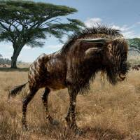 Prehistoric cousin of wildebeest boasted dinosaur-like nasal horn