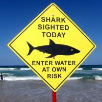A surfer carries his board into the water next to a sign declaring a shark sighting on Sydney's Manly Beach last November. | REUTERS