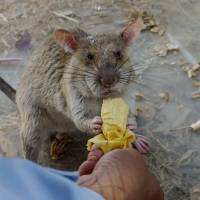 A landmine-clearing rat gets a favorite reward — a banana — after a morning's effort to sniff out mines still buried in Trach, Cambodia, on Feb. 19. | AP