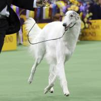 Lucy, a borzoi from Chiba Prefecture, makes and the runner-up for best in show, stands with her handler, Shota Hirai. | AP