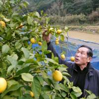 Farmer Soichi Yamashita checks a lemon tree on Jan. 23 in Karatsu, Saga Prefecture. | KYODO