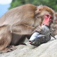 A wild monkey bites into a fish on Kojima Island, Miyazaki Prefecture, in December. | KYODO