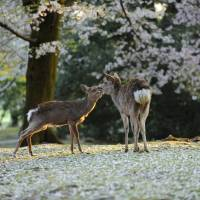 Deer in Nara during springtime. The city will make attracting lesbian, gay, bisexual and transgender tourists a priority. | ISTOCK