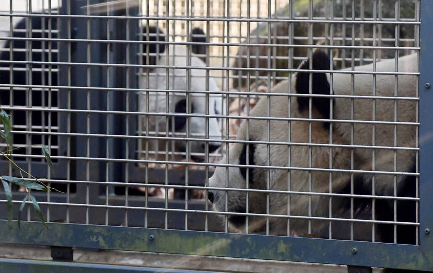 Get a room! Ueno Zoo's bashful pandas try for a baby