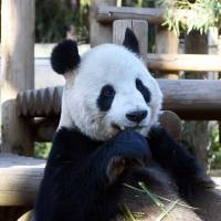 Male giant panda Ri Ri is shown in his enclosure at the Ueno Zoo in Tokyo on Thursday. | UENO ZOOLOGICAL GARDENS