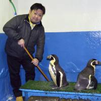 Hidenori Takai, a worker at Wakkanai Noshappu Aquarium in Wakkanai, Hokkaido, poses for a photo with Humboldt penguins. | KYODO