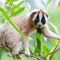 Slow lorises are sold widely as exotic pets in Japan. | ANDREW WALMSLEY / KYODO