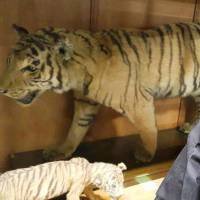The head of the Cultural Assets Redemption Agency, a South Korean civic group, looks at stuffed Korean tigers kept at Doshisha, a school operator in Kyoto, on Monday. | THE CULTURAL ASSETS REDEMPTION AGENCY/KYODO