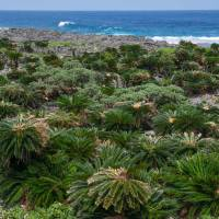 A seemingly endless expanse of wild cycads stretches along Aguni Island's west coast. | STEPHEN MANSFIELD