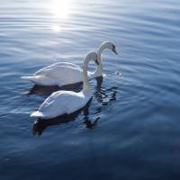 Swans that overwinter in Japan migrate in spring to northern Honshu, then on to Hokkaido before flying via Sakhalin Island to their breeding grounds in Siberia. | ISTOCK