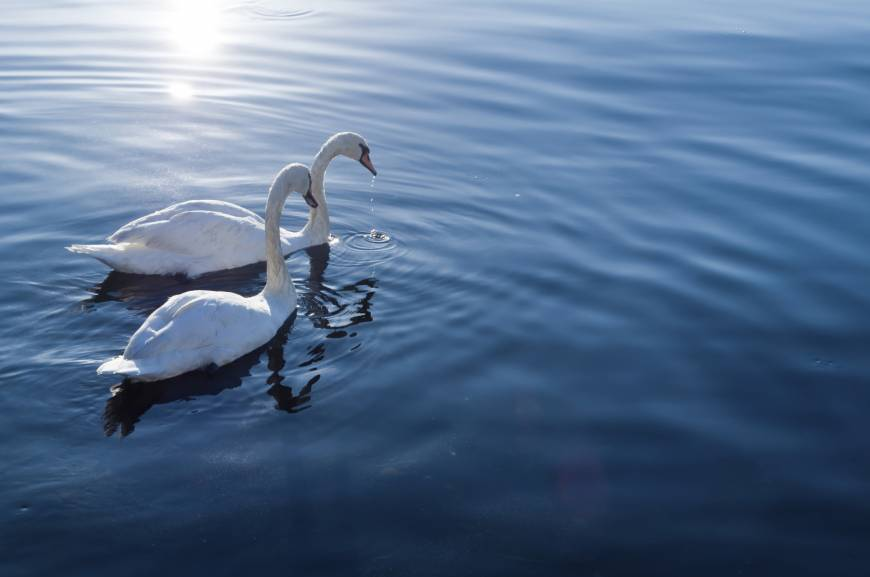 Swans, and us, at risk as wetlands shrink