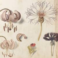 Sebastian Schedel's Lilium Martagon (Martagon Lily) and Centaurea nigra (Common Knapweed) from 'Calendarium' (Early 17th century). | ©THE BOARD OF TRUSTEES OF THE ROYAL BOTANIC GARDENS, KEW
