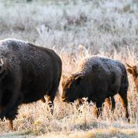 A bison herd roams in a section of the Elk Island National Park, Alberta. Descendants of a bison herd captured and sent to Canada more than 140 years ago will be relocated to a Montana American Indian reservation. | PARKS CANADA VIA AP