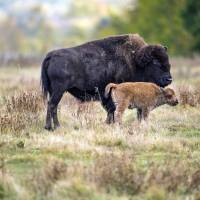 A bison and it's calf roam in a section of the Elk Island National Park, Canada. | PARKS CANADA VIA AP