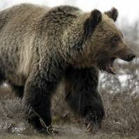 A grizzly bear in Yellowstone National Park   REUTERS