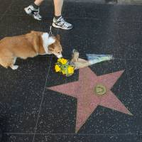 A passing dog sniffs flowers on the Hollywood Walk of Fame star of actor George Kennedy, who died Sunday in Boise, Idaho. | AFP-JIJI