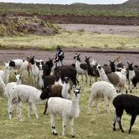 In wake of WHO report, Bolivia touts llama as healthy alternative to beef