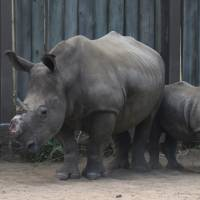 A dehorned rhino stands with her baby at a rhino orphanage in the Hluhluwe-iMfolozi Game Reserve in South Africa's KwaZulu Natal province on Feb. 15. | AP