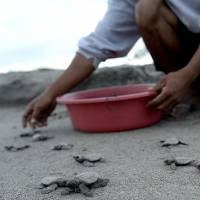 A worker releases olive ridley sea turtle hatchlings at a beach in Morong, the Philippines. | AFP-JIJI