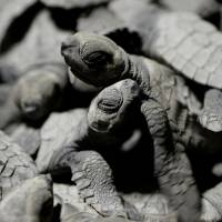 Olive ridley sea turtle hatchlings crawl over each other in a plastic water basin before being released at a beach in Morong, the Philippines. | AFP-JIJI