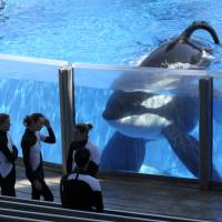 Killer whale Tilikum watches as SeaWorld Orlando trainers take a break during a training session at the theme park's Shamu Stadium in Orlando, Florida, in this file photo from March, 2011. SeaWorld is ending its practice of killer whale breeding following years of controversy over keeping orcas in captivity. | AP
