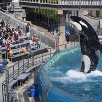 Visitors are greeted by an Orca killer whale as they attend a show featuring the whales during a visit to the animal theme park SeaWorld in San Diego, California, on March 19, 2014. Bowing to years of pressure from animal rights activists, U.S theme park operator SeaWorld said on Thursday it would stop breeding killer whales and that those currently at its parks would be the last. | REUTERS