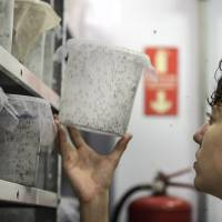 A technician inspects a container of genetically modified mosquitoes in the laboratory at the Oxitec Ltd. facility in Campinas, Brazil, on March 1.   BLOOMBERG