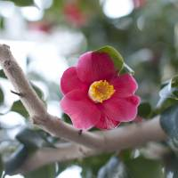 A camellia flower is seen in the Kesen area of Iwate Prefecture. | RE:TERRA CO./KYODO