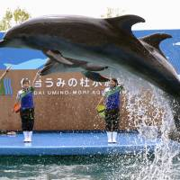 Mie University aims to develop dolphin-breeding technology