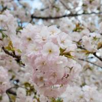The centuries-old charm of Japan's cherry blossoms