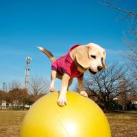 Well-balanced beagle sets ball-rolling speed record
