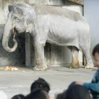 Hanako the elephant is seen at Inokashira Park Zoo in Tokyo in February 2014, when she was 67 years old. | KYODO