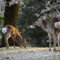 Nara to allow some deer to be culled under new management policy