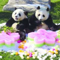 Twin female giant pandas Ohin (left) and Tohin enjoy ice-themed gifts at Shirahama Adventure World in Wakayama Prefecture. The items are associated with Hina Matsuri (Doll Festival or Girls' Day), which fell on Thursday. | KII MINPO / KYODO