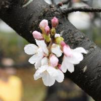 The spring's first cherry blossoms are seen here on a Somei-Yoshino cherry tree in Fukuoka on Saturday morning. | KYODO