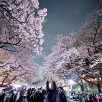 Cherry trees in full bloom in Tokyo and elsewhere across Japan