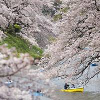 People row boats in the Chidorigafuchi Moat near the Imperial Palace in Tokyo Thursday to view cherry blossoms in full bloom.   KYODO