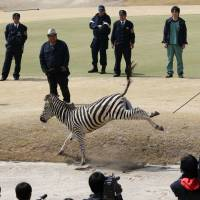 A veterinarian tries to anesthetize an escaped zebra with a blowgun Wednesday in Toki, Gifu Prefecture. The animal later died. | KYODO