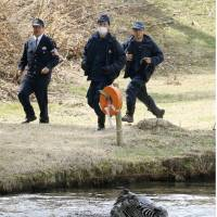 An escaped zebra is seen in a pond at a golf course in Toki, Gifu Prefecture, on Wednesday. It was pulled out dead, likely drowned. | KYODO